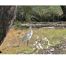 Spoonbill at Cudgen Lake, Far north New South Wales. Photographic Print