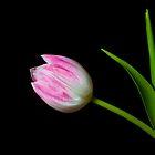 Tulip by Eddie Howland