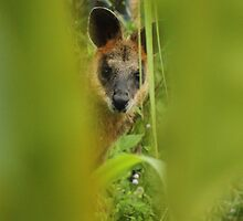 Wallaby by Anna Koetz