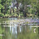 Water Lily in Billabong by Matthew Walmsley-Sims