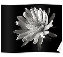 Night Blooming Cereus in Black and White Poster