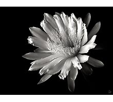 Night Blooming Cereus in Black and White Photographic Print