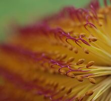Banksia - Australia by Liz Worth