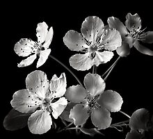 Ornamental Pear in Black and White by Endre