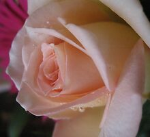 Apricot Amour Rose by MarianBendeth