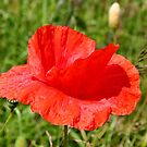 Common Red Poppy by AnnDixon