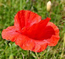Common Red Poppy by AnnDixon