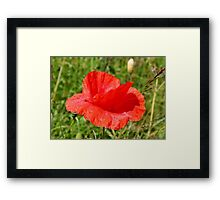 Common Red Poppy Framed Print