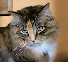 Bold Ruler of The House, Tabby/Maine Coon by Thomas Stevens