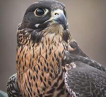 Peregrine Falcon Portrait by Kathleen  Bowman