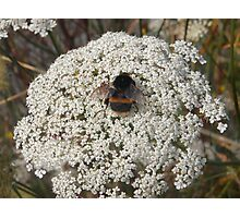 Bumble Bee on Flowers Photographic Print