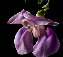Snail Flower by Endre