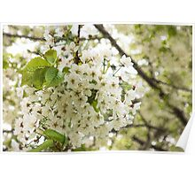 Dreamy White Blossoms - Impressions Of Spring Poster