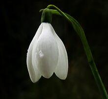 Lonely Snowdrop by Susie Peek