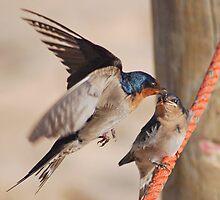 Welcome Swallows Monkey Mia Western Australia by Adrian Paul