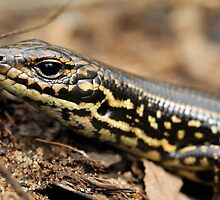 Leura Skink - Blue Mountains #1 by Peter Chrismas