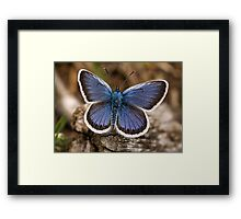 Silver-studded Blue Butterfly (Plebius argus) Framed Print