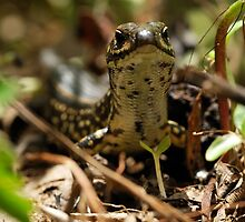 Leura Skink - Blue Mountains #2 by Peter Chrismas