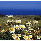 Pick a daisy - Santorini Greece by kelliejane