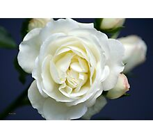 White Rose Bloom Photographic Print