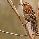 FEMALE RED-WINGED BLACKBIRD by Sandy Stewart