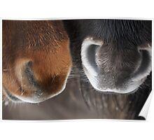 Shetland Pony Noses Poster