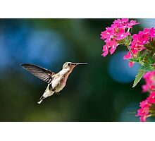 Ruby Throated Hummingbird with Pink Flowers Photographic Print