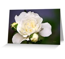 Fresh White Rose Greeting Card
