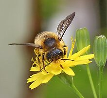 Bee Collecting by AnnDixon