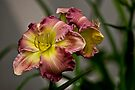 "Daylily ""Wisteria"" by Michael Cummings"
