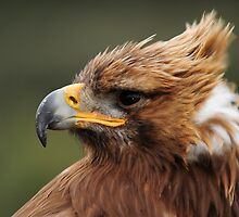 Golden Eagle by Daniel Rosselló