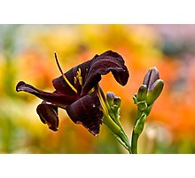 "Daylily ""Rootbeer"" Photographic Print"