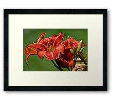 """Daylily """"Raging Wildfire"""" Framed Print"""