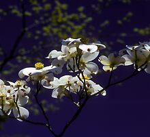 Dogwoods by Jim Haley