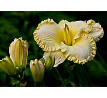 "Daylily ""First Knight"" Photographic Print"