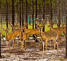 09-110 ~ young deer stand ready for flight by djyoriginals
