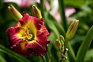 "Daylily ""Dragon King"" by Michael Cummings"
