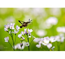 Hummingbird Clearwing Moth Photographic Print