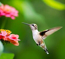 Hummingbird Free as a Bird by Christina Rollo