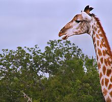 Giraffe on blue sky by Ilana Brumble