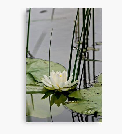 White Water Lily  Canvas Print