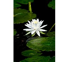 White Water Lily  Photographic Print
