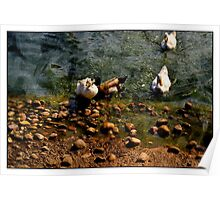 Ducks by the River Poster