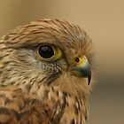 European Kestrel by Lindie