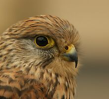 European Kestrel by Lindie Allen