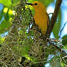 Prothonotary Warbler by Photography by TJ Baccari
