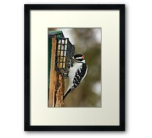 Woody the Hairy woodpecker is hungry Framed Print
