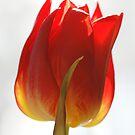 High key tulip by Lindie Allen
