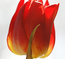High key tulip by Lindie