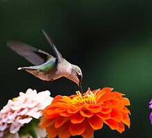 Hummingbird with Zinnia Flowers by Christina Rollo